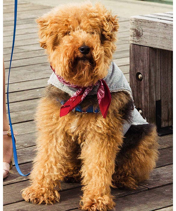 Dog Testimonials from Rent the Runway - Rafa the Welsh Terrier
