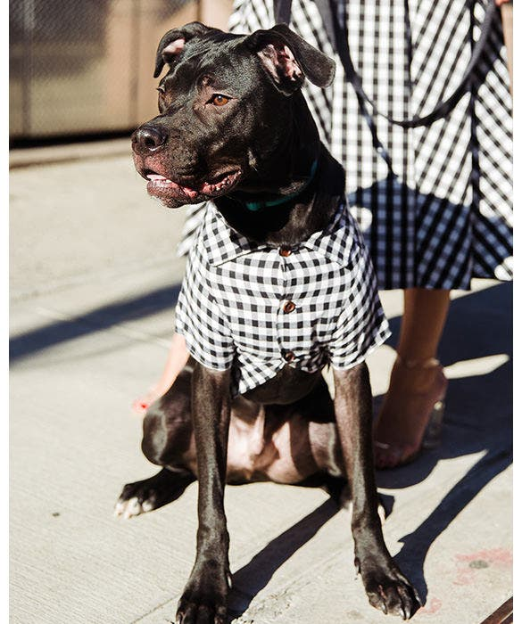 Dog Testimonials from Rent the Runway - Renegade the Pitbull Mix